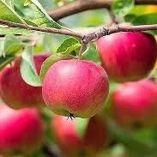 Можно ли бросать яблоки в компостную яму